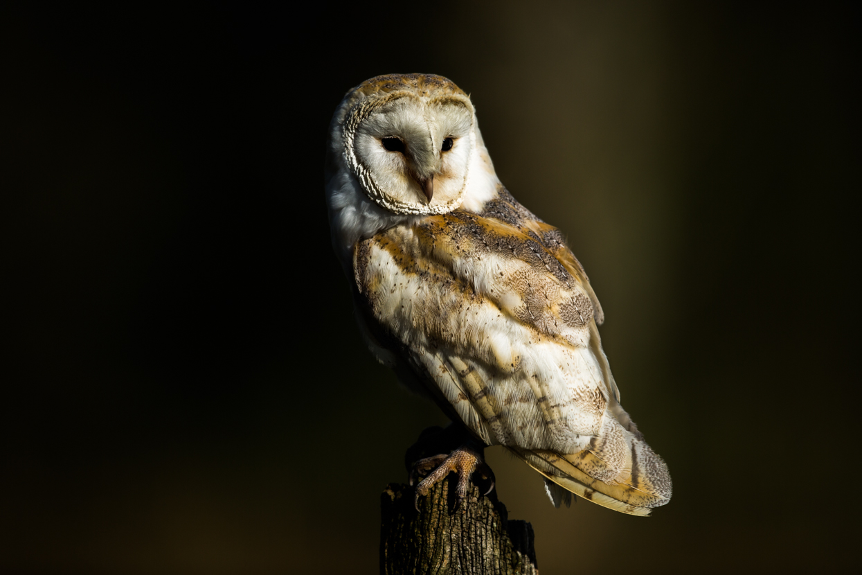 Barn Owl, British Wildlife Centre