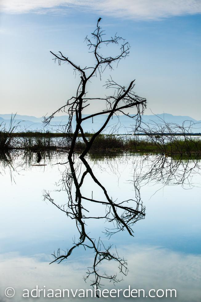 Pied Kingfisher in Tree Reflection, Lake Baringo, Kenya