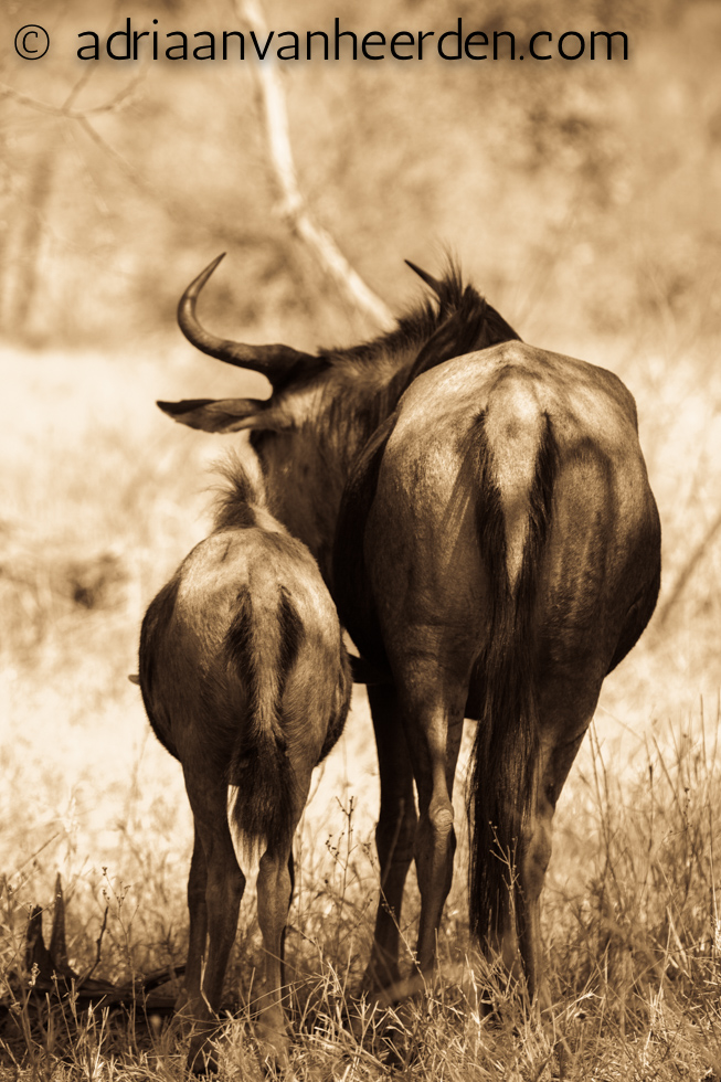 Wildebeest with Calf, Kruger National Park, South Africa