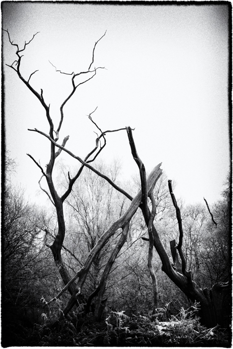 Broken Tree, Ashtead Common, Surrey