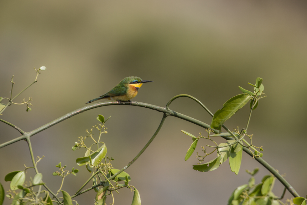 Cinnamon-Chested-Bee-Eater on Branch, Maasai Mara, Kenya