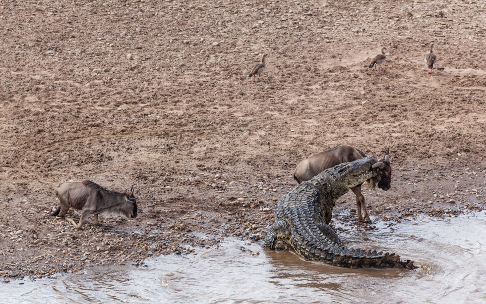 Crocodile Captures Wildebeest at River Crossing, Maasai Mara, Kenya