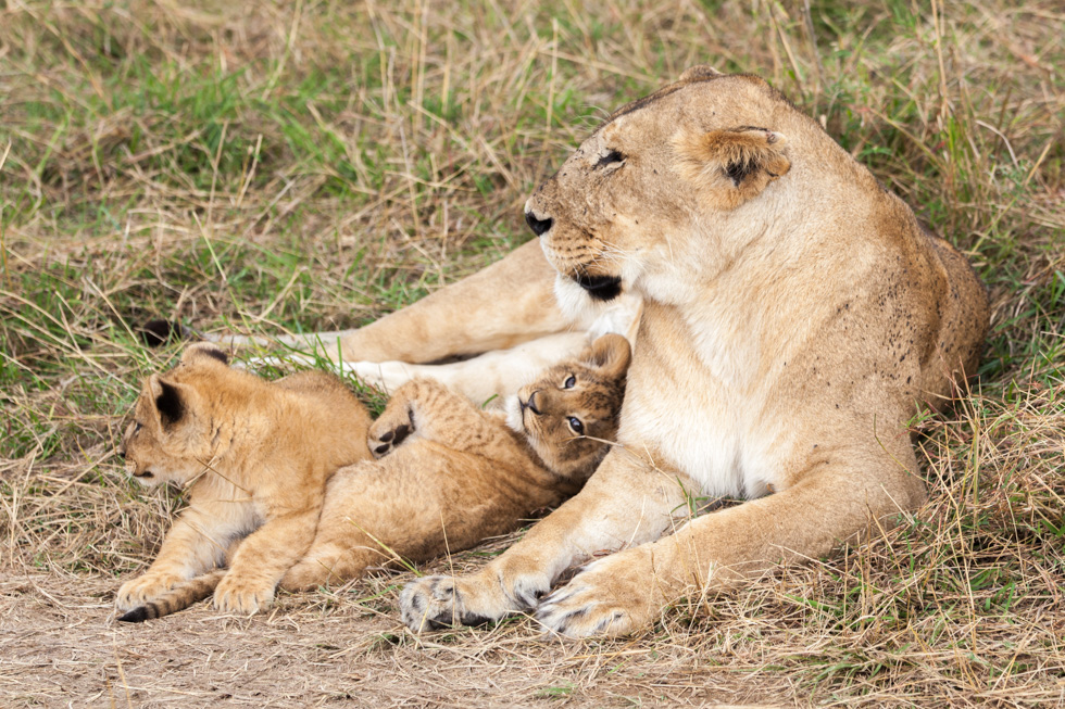 Adriaan van Heerden Wildlife Photography Lioness With Cubs, Maasai Mara, Kenya
