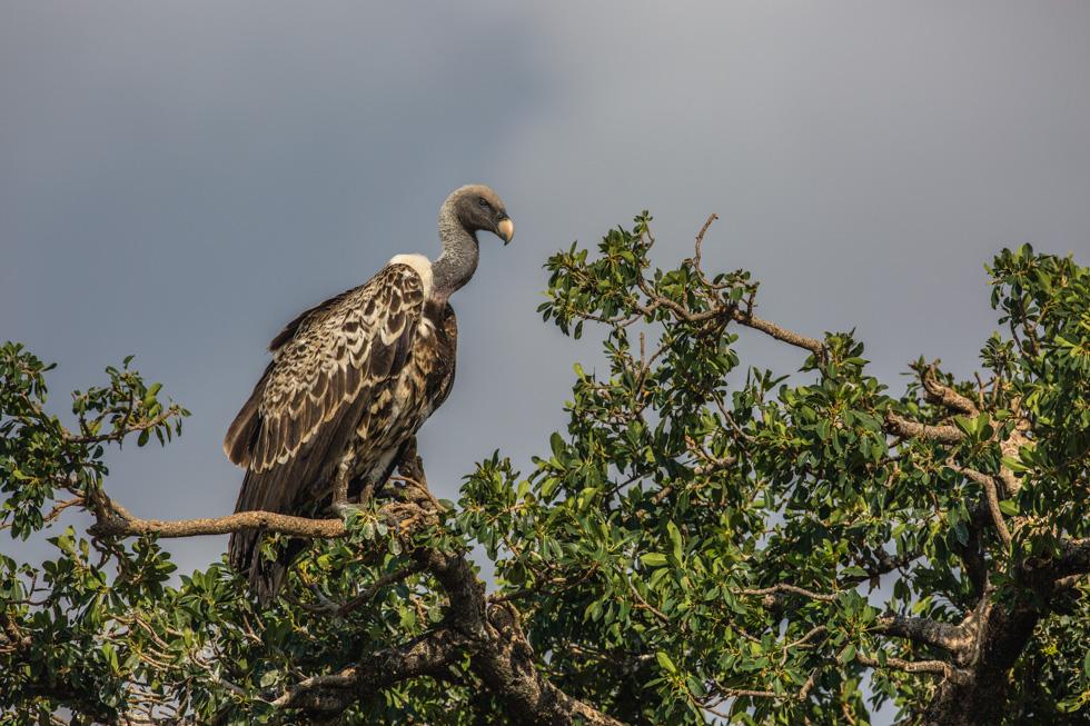 Ruppell's Griffon Vulture, Maasai Mara, Kenya