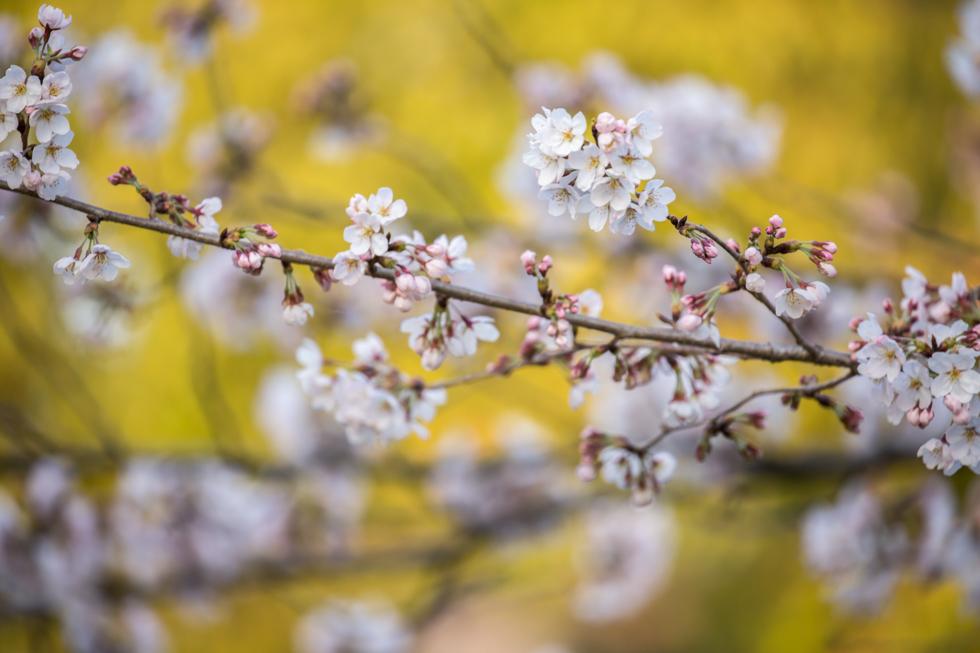 Sakura, Maruyama Park, Kyoto, Japan