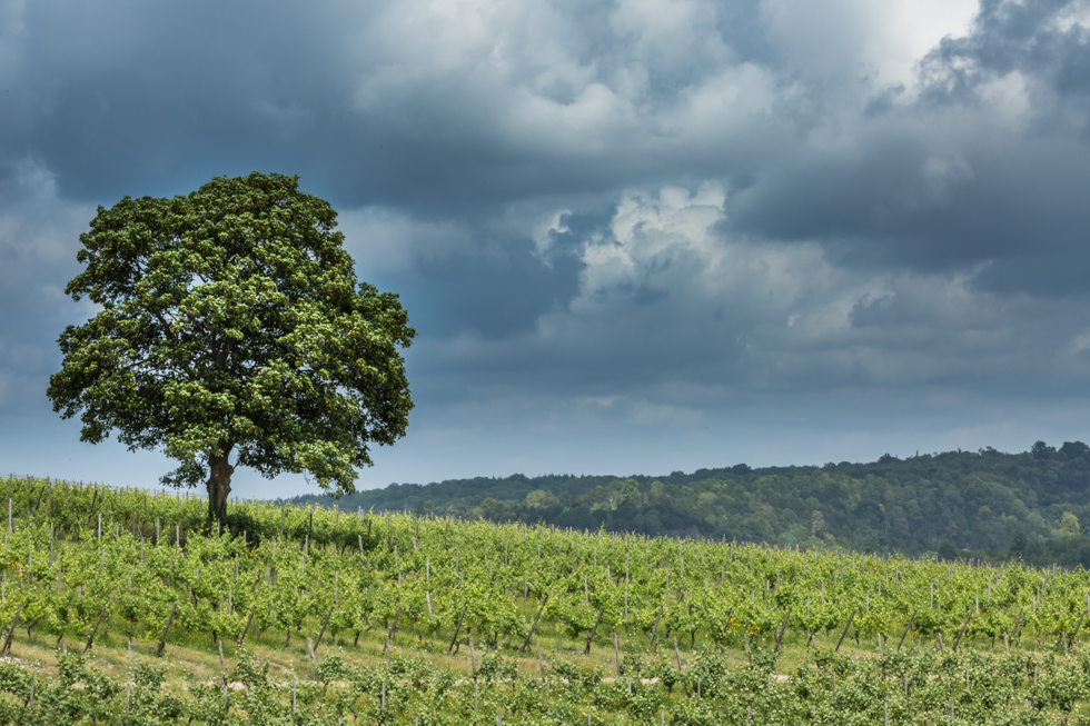 Tree with Vines and Sky, Denbies Wine Estate, Surrey