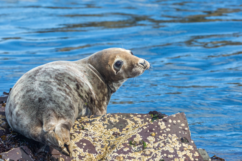 Seal on Rock, Farne Islands, Northumberland
