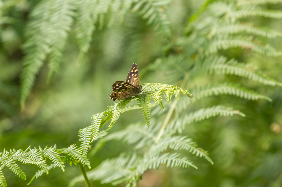 Speckled Wood Butterfly, Chillingham, Northumberland