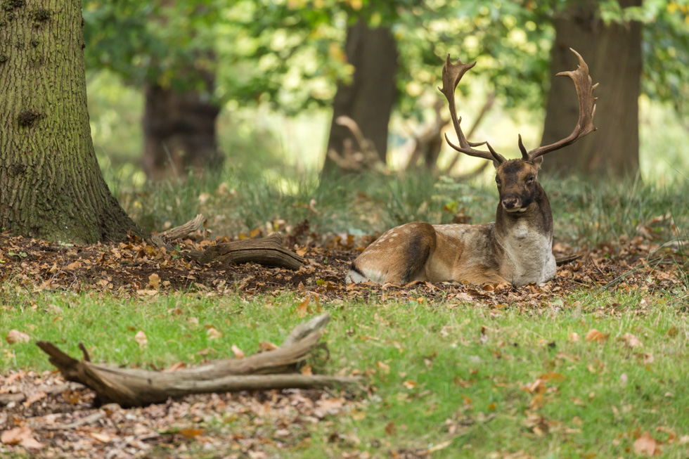 Fallow Deer Buck Reclining, Richmond Park, London