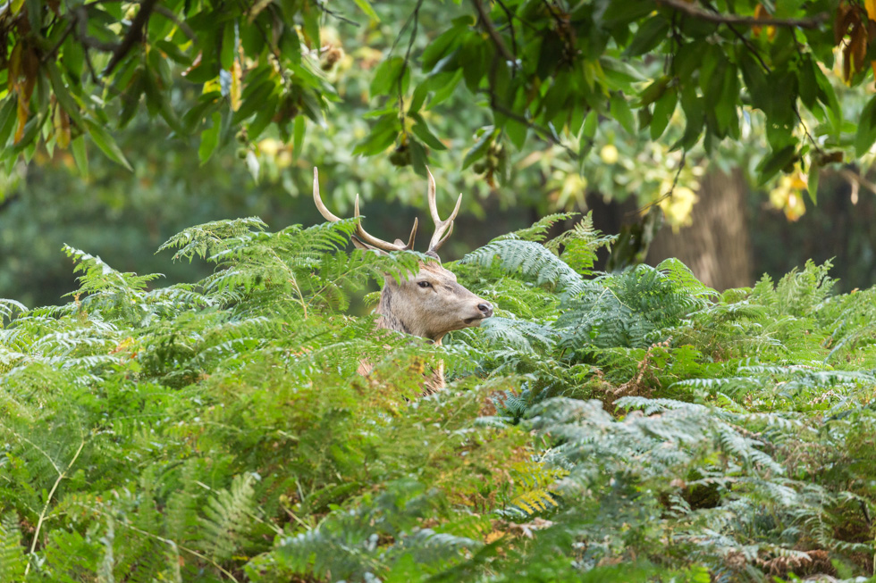 Red Deer Stag Among Fern, Richmond Park, London