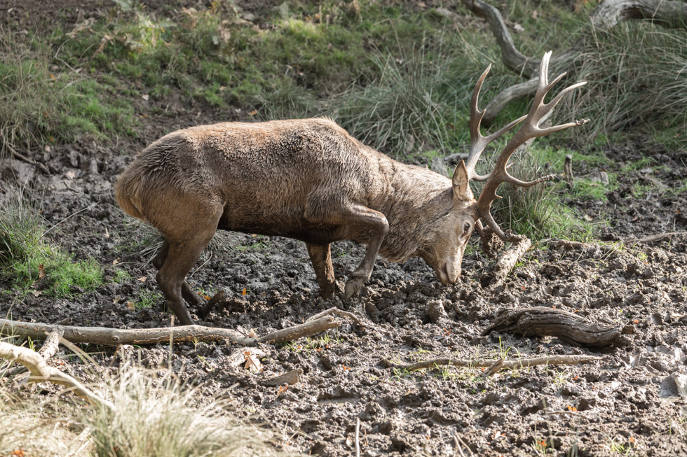 Red Deer Stag in Muddy Riverbank, Richmond Park, London