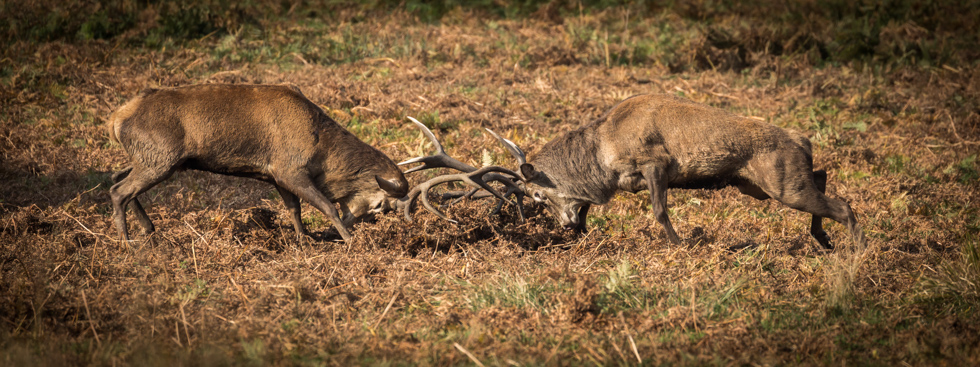 Red Deer Stags Fighting, Richmond Park, London