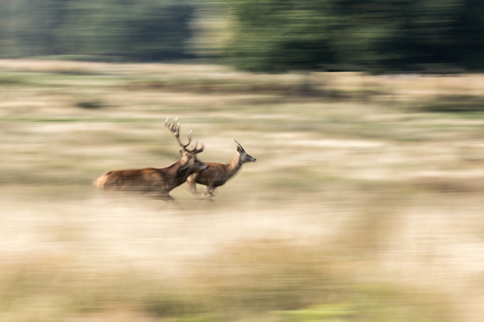 The Chase, Red Deer Rut, Richmond Park, London