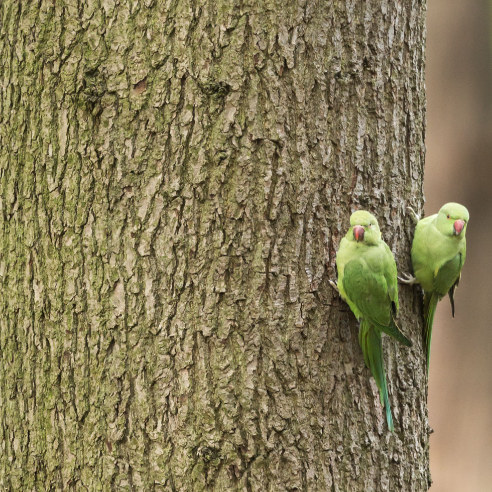 Two Parakeets, Richmond Park, London