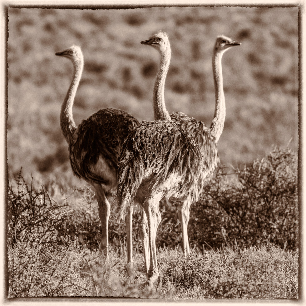 Three Ostriches, Karoo National Park, South Africa
