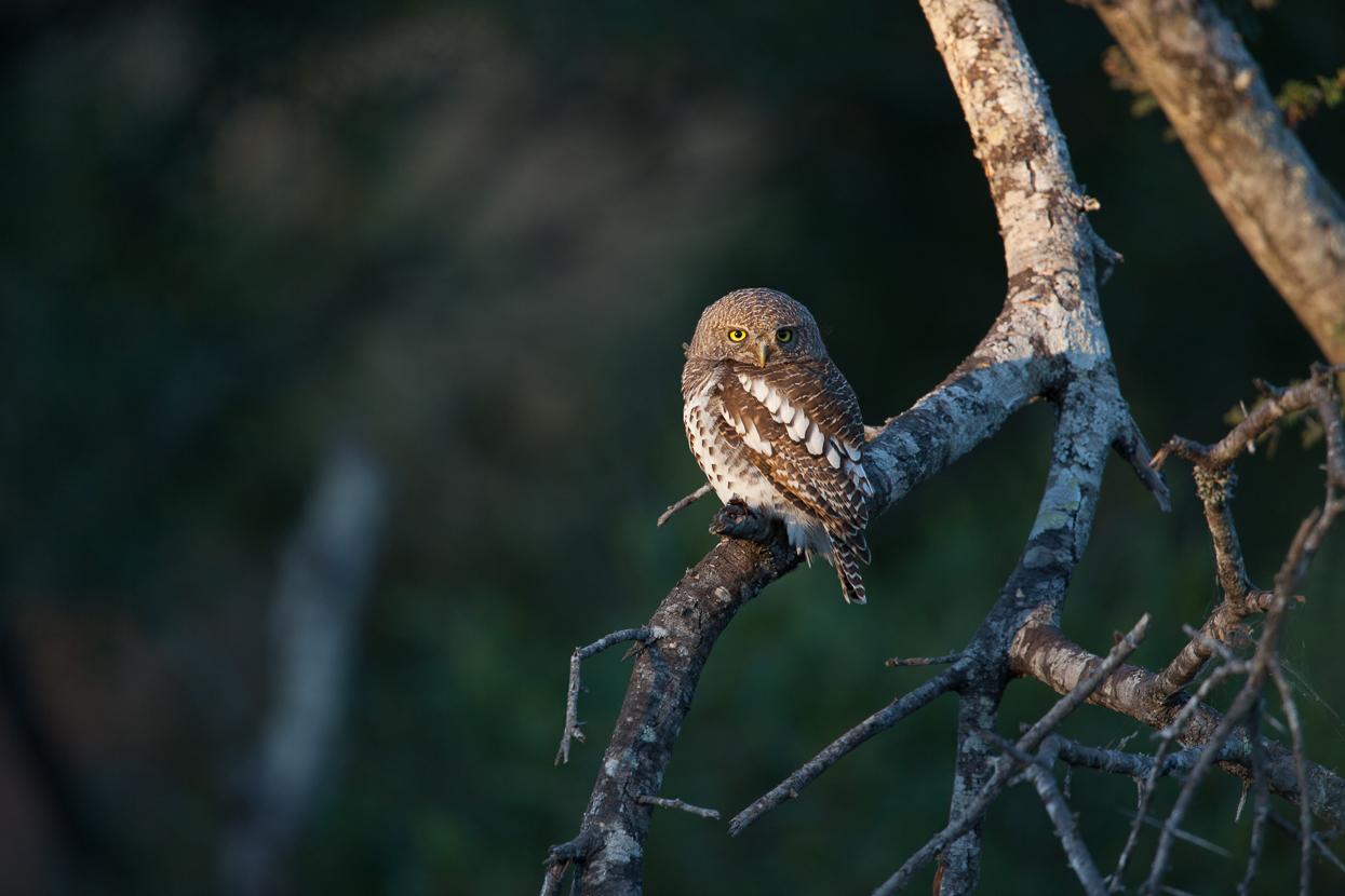 African Barred Owlet, Kruger National Park