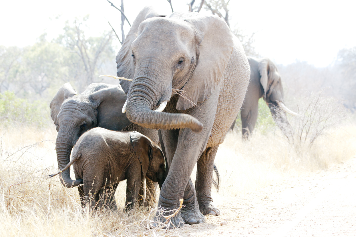 Elephant Family, Kruger National Park, South Africa