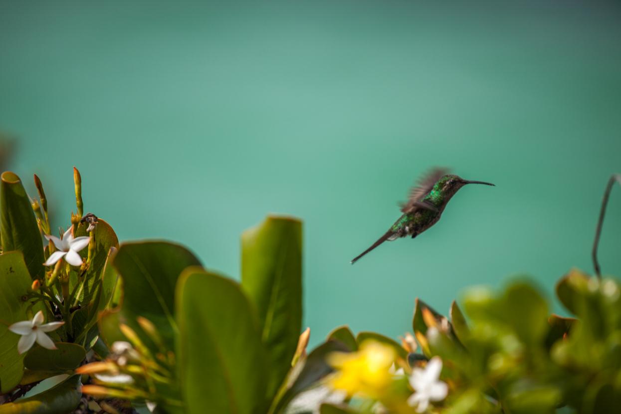 Hummingbird, Cayo Las Brujas, Cuba