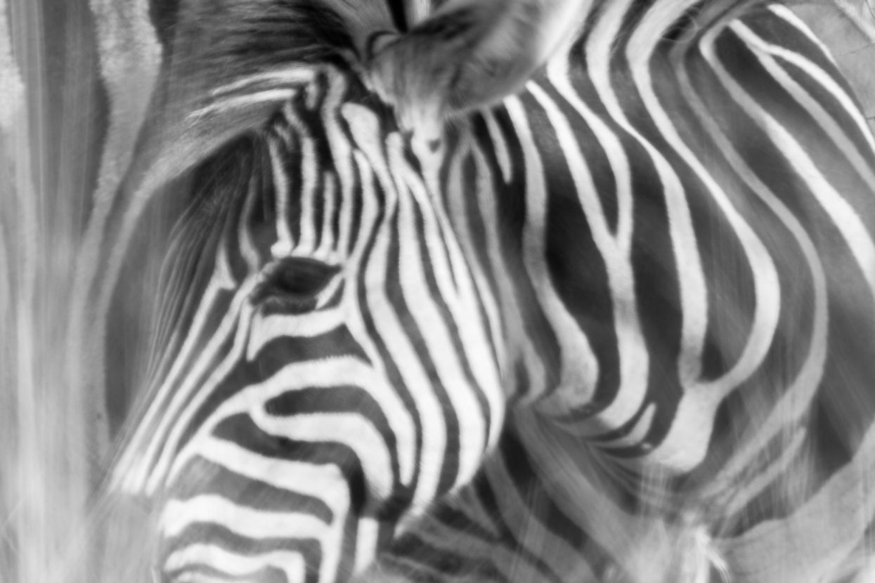 Juvenile Zebra, Kruger National Park, South Africa