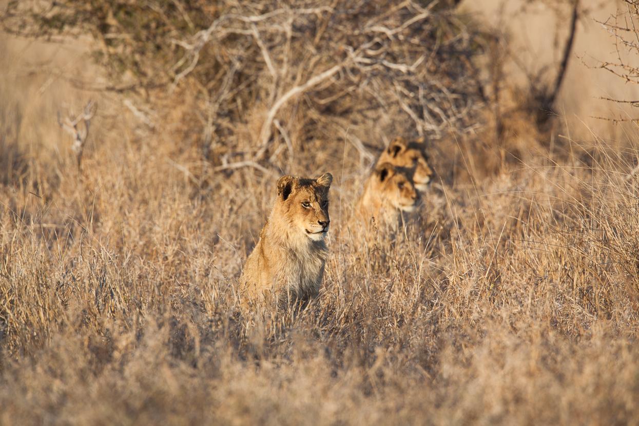 Lion Pride, Kruger National Park