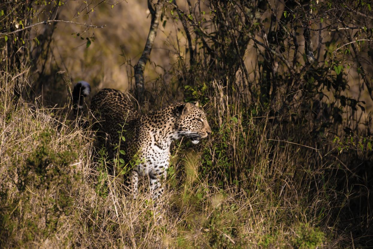 Olive (African Leopard), Maasai Mara, Kenya