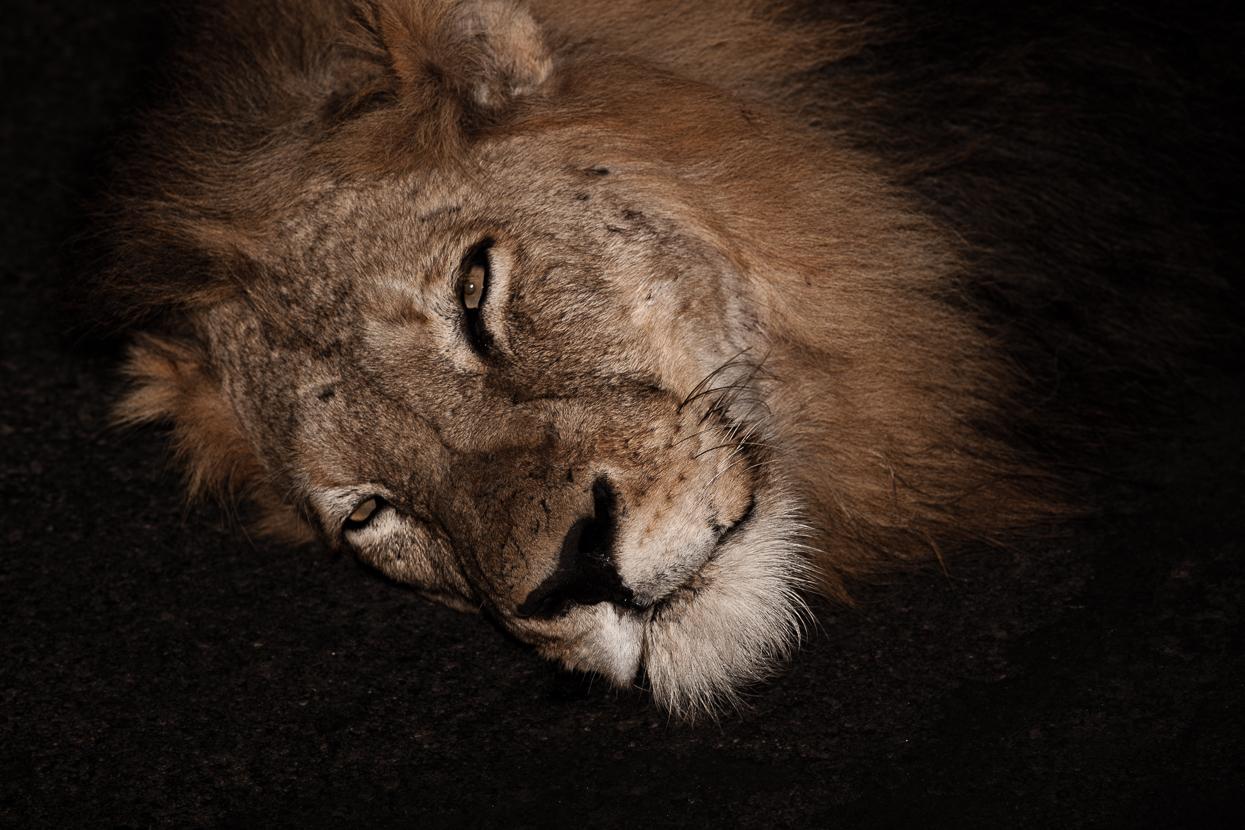 Post-Coital Lion, Kruger National Park