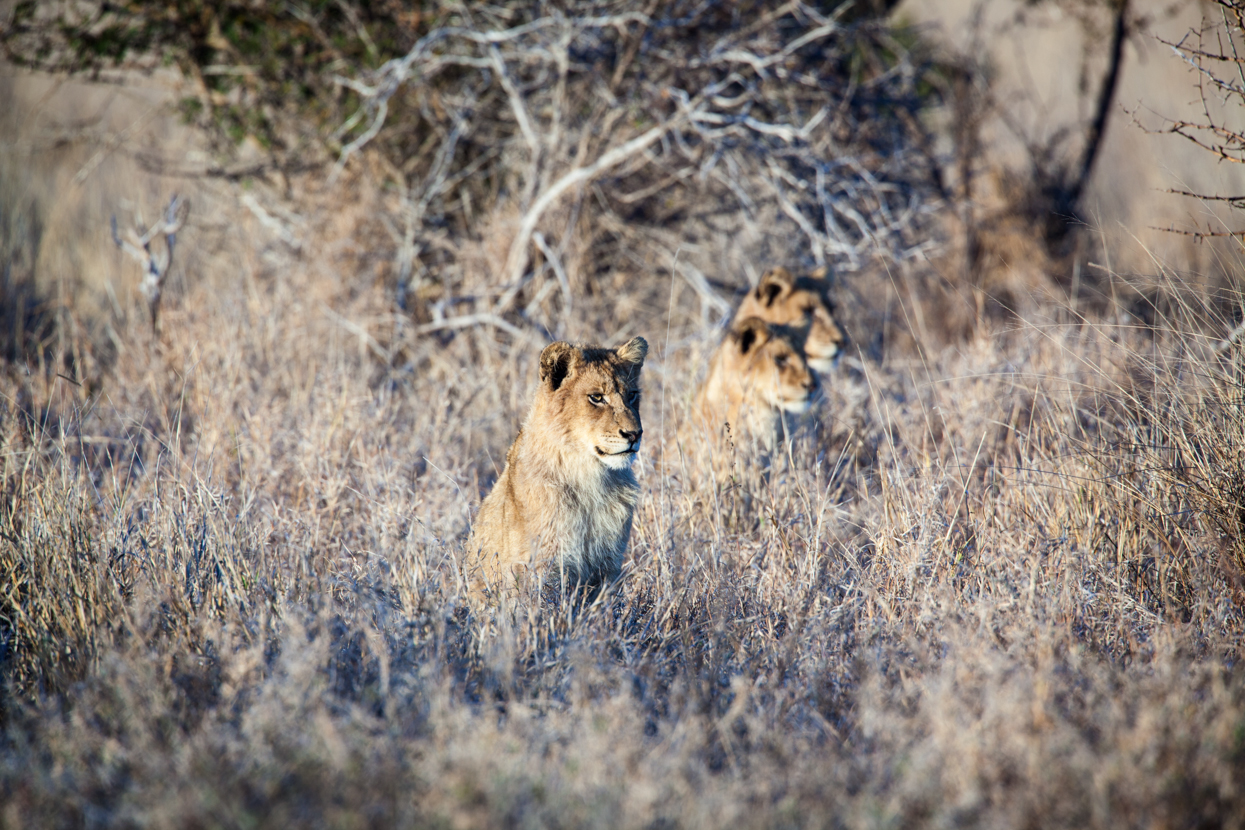 Three Lions, Kruger National Park, South Africa