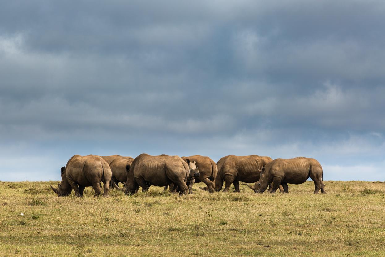 Crash of White Rhinos, Solio, Kenya