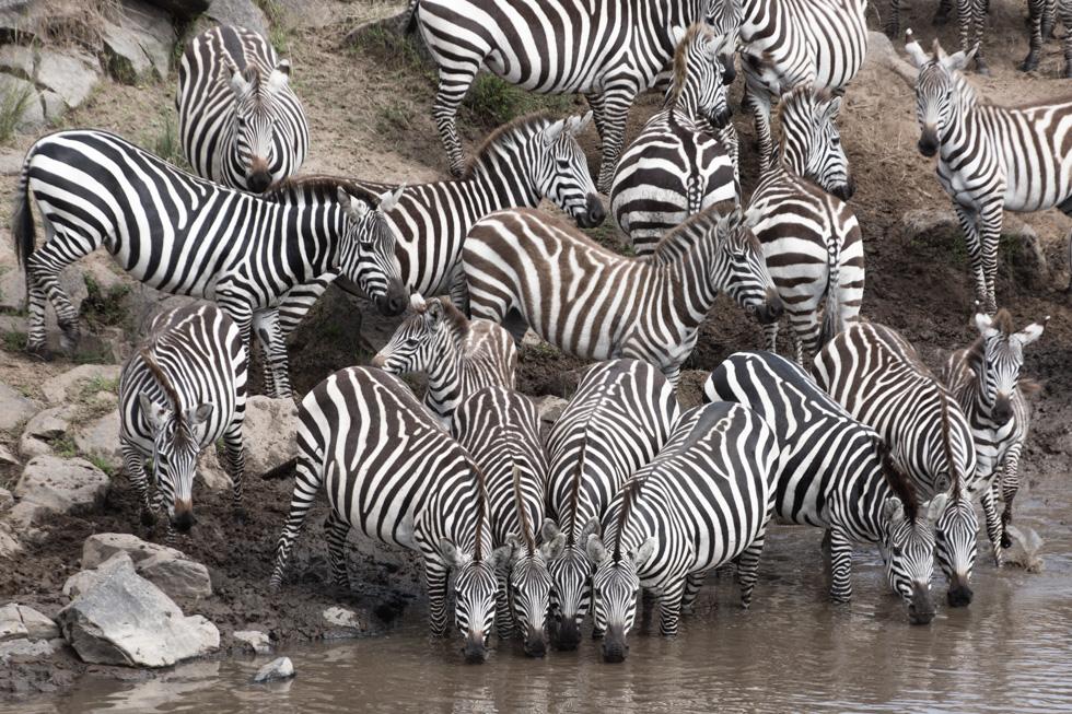 Dazzle of Zebras Drinking at River Crossing, Maasai Mara, Kenya