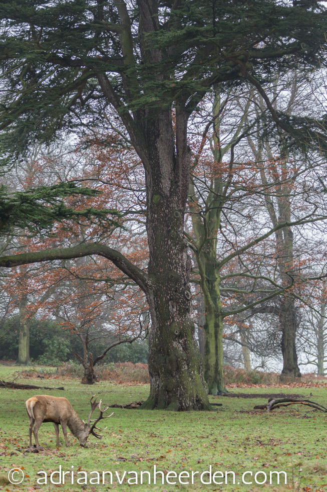 Red Deer Stag Grazing, Richmond Park, London