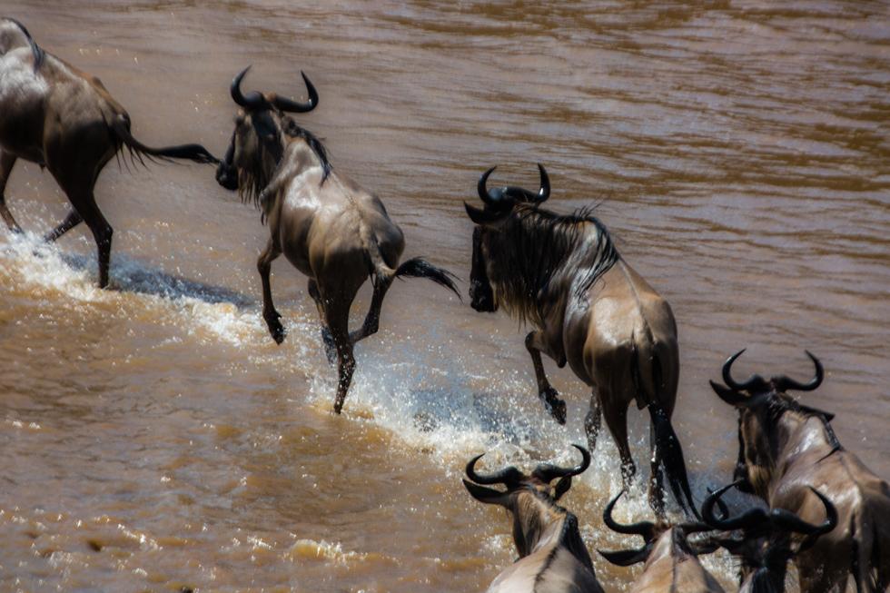 Wildebeest Crossing Mara River, Kenya