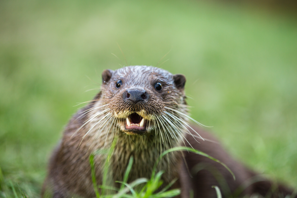 European Otter Baring Teeth, British Wildlife Centre