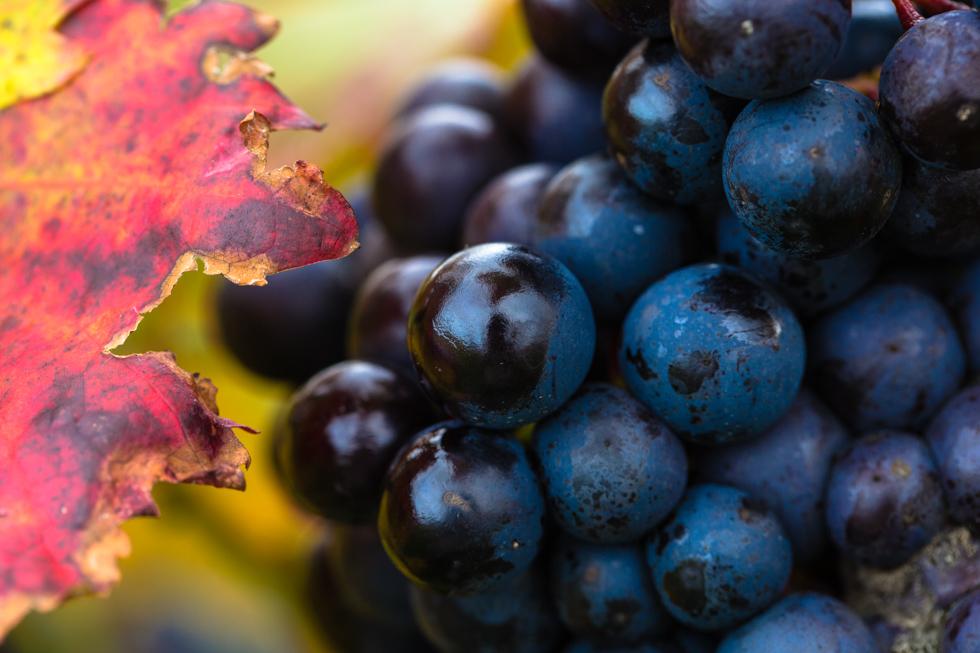 Leaf and Grapes, Denbies Wine Estate, Surrey