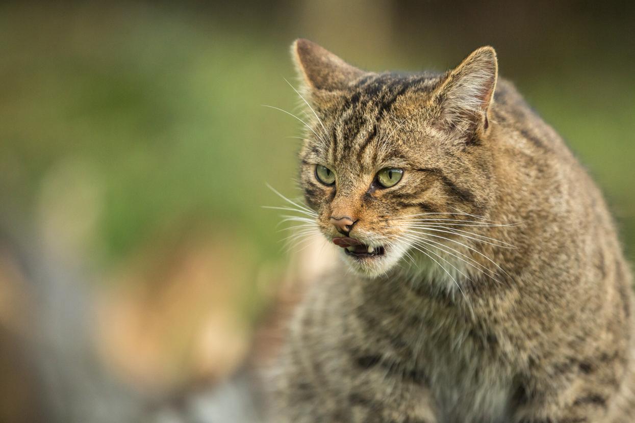 Scottish Wildcat, British Wildlife Centre