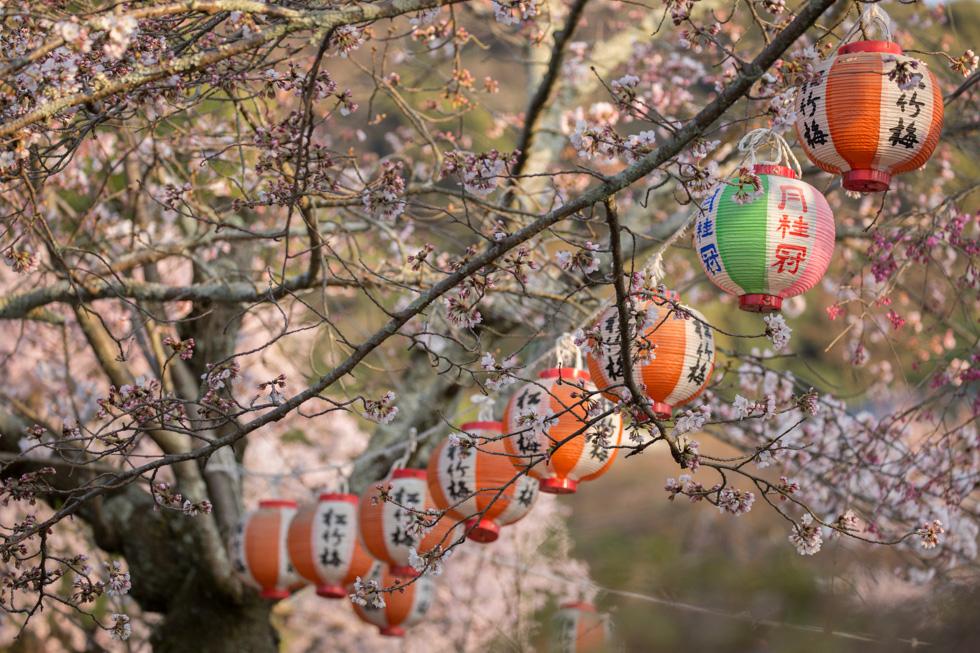 Lanterns with Sakura, Maruyama Park, Kyoto, Japan