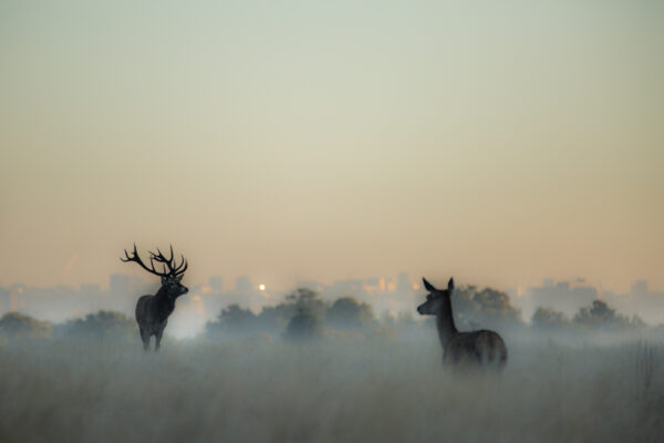 Stag and Hind, Red Deer Rut, Richmond Park