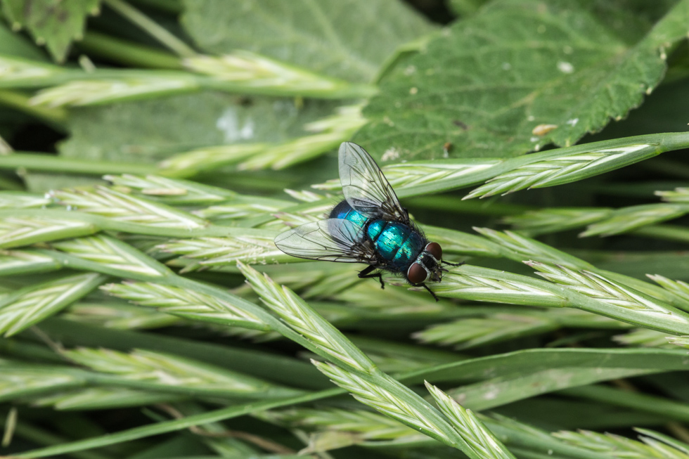 Fly on Grass, Denbies Wine Estate, Surrey