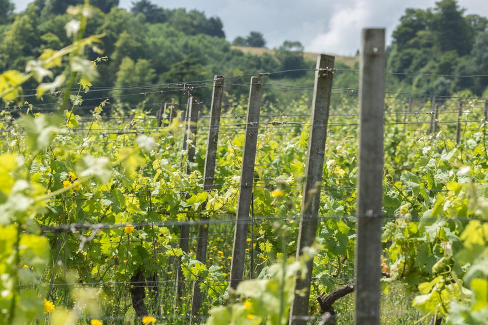 Vines, Denbies Wine Estate, Surrey