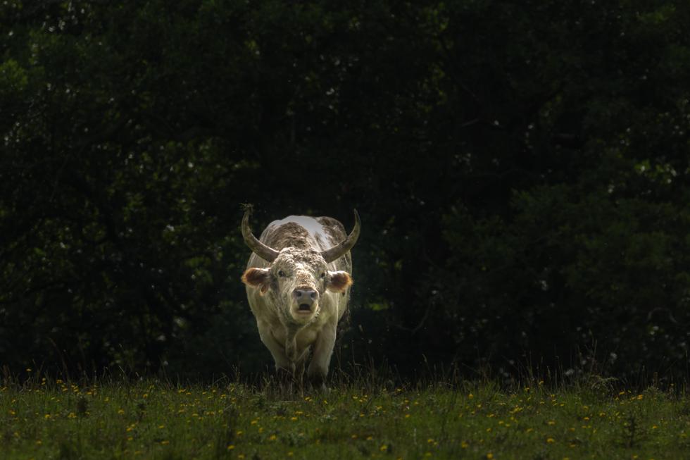 Wild Cattle Bull, Chillingham, Northumberland