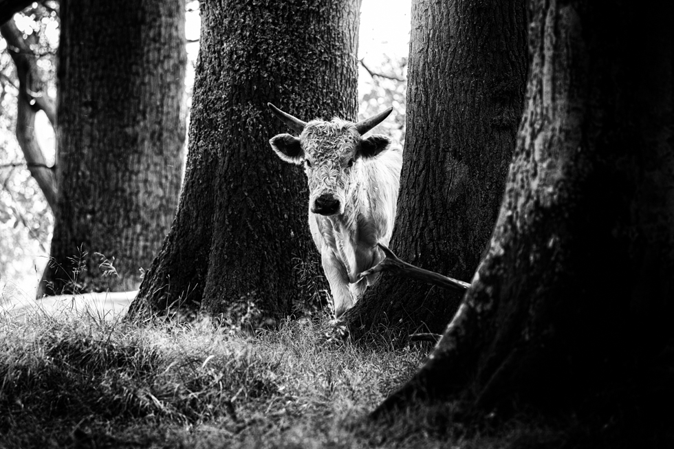 Wild Cattle Calf, Chillingham, Northumberland