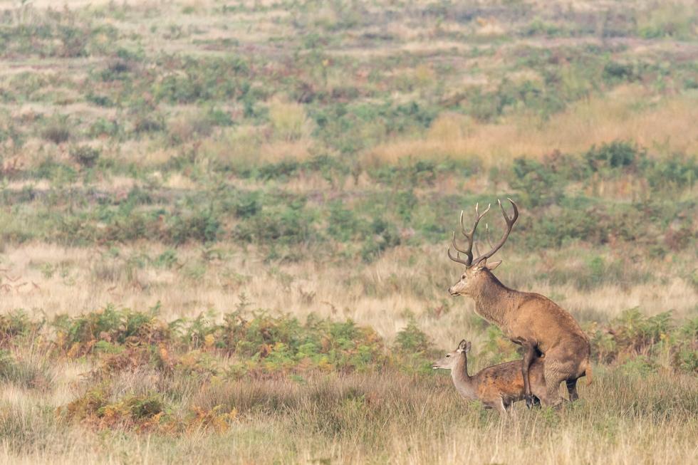Red Deer Mating, Richmond Park, London