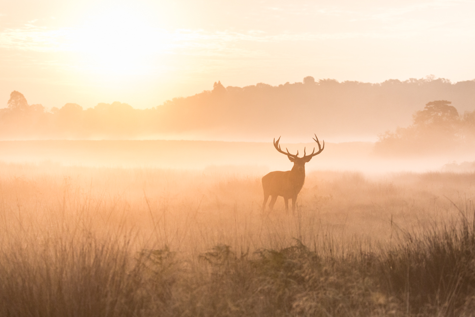 Red Deer Stag at Sunrise, Richmond Park, London