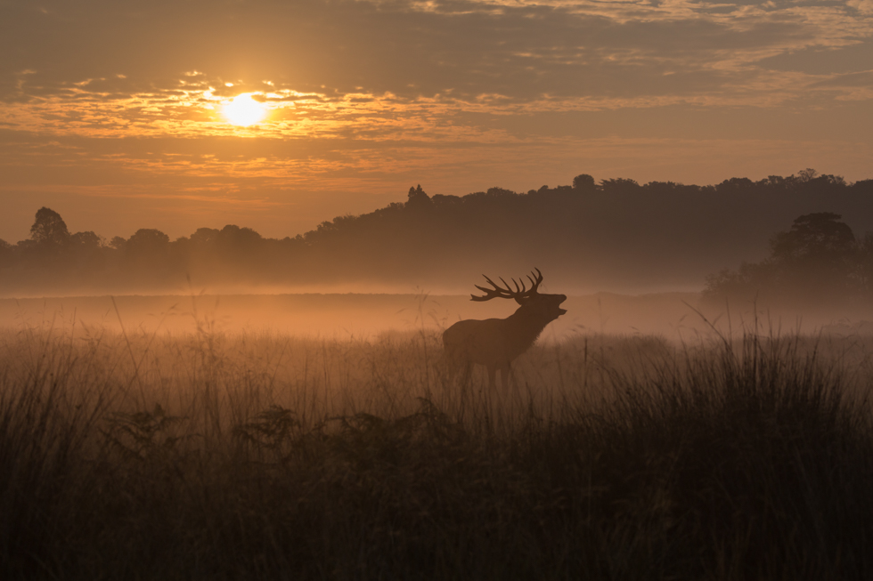 Roaring Red Deer Stag at Sunrise, Richmond Park, London