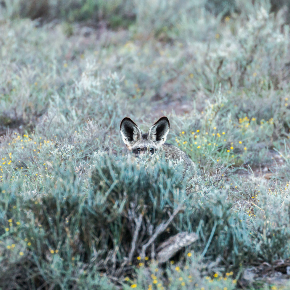 Bat-Eared Fox, Karoo National Park, South Africa