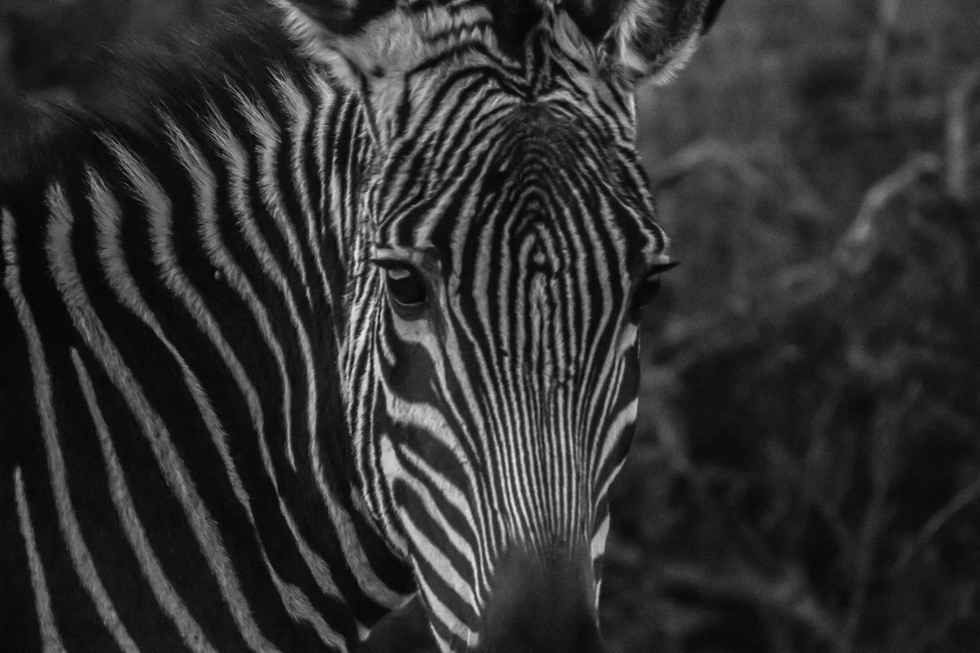 Cape Mountain Zebra, Karoo National Park, South Africa