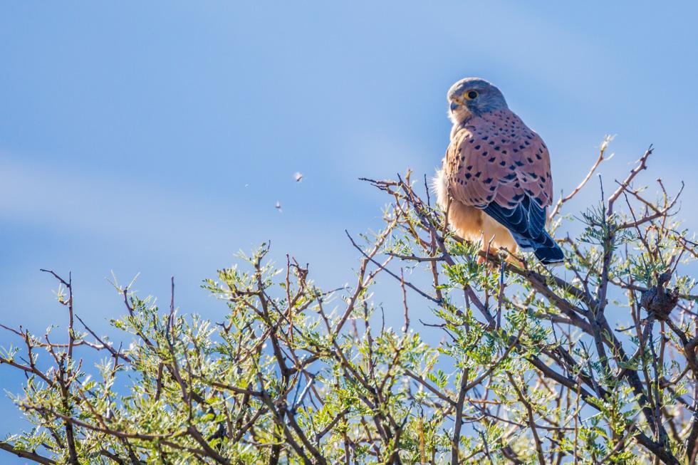 Lesser Kestrel, Karoo National Park, South Africa