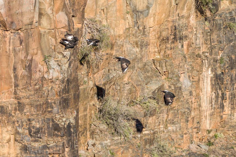 Verreaux's Black Eagle, Karoo National Park, South Africa