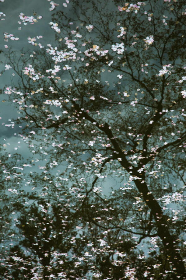 Ode to Mortality (Sakura with Tree Reflection), Kiyomizu-dera Temple, Kyoto, Japan