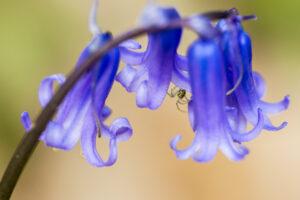 Spider Among the Bluebells, Denbies Wine Estate, Surrey, UK