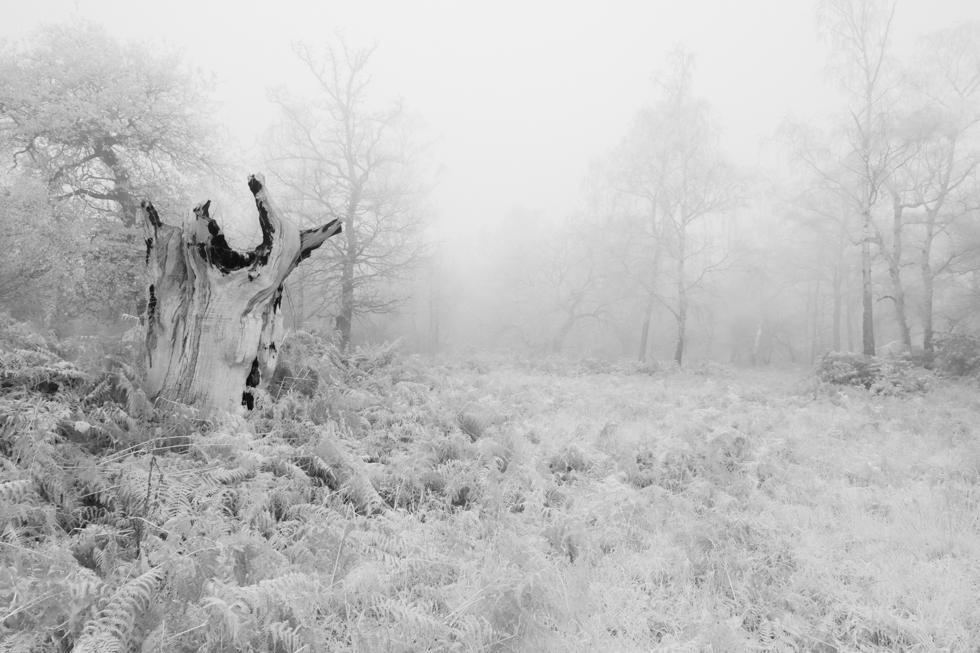 Howling Wolf Tree, Ashtead Common, Surrey, UK
